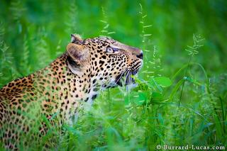 Leopard Glance